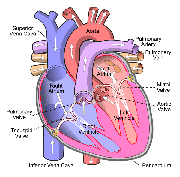 Draw the internal structure of a human heart and show the blood circulation with the help of arrows