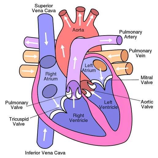 Draw the internal structure of a human heart