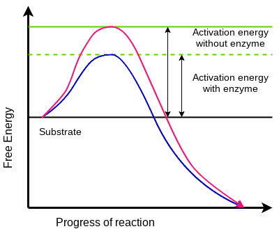 Q.2) In what way does an enzyme affect the chemical reaction it catalyzes?