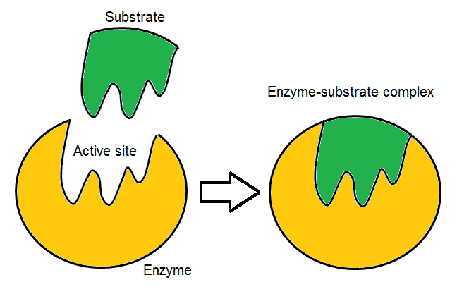 Explain the mode of action of an enzyme in a reaction