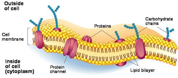 Fluid Mosaic Model of cell membrane