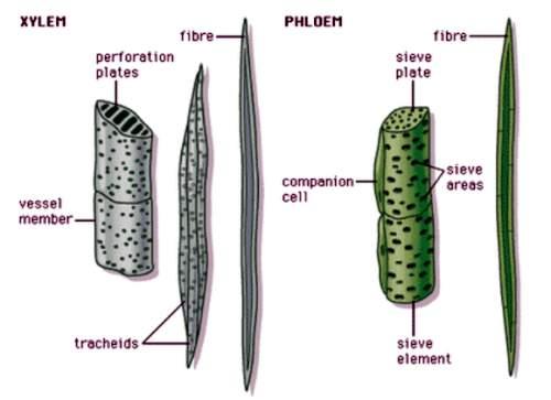 Plant compound tissues Xylem and phloem