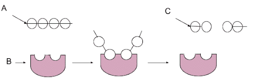 The diagram below shows the relationship an enzyme a substrate and the product of an enzyme catalyzed reaction