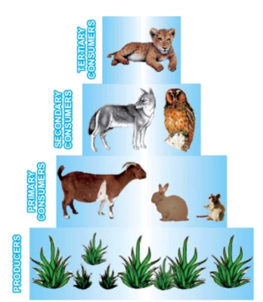 Pyramid of Biomass: