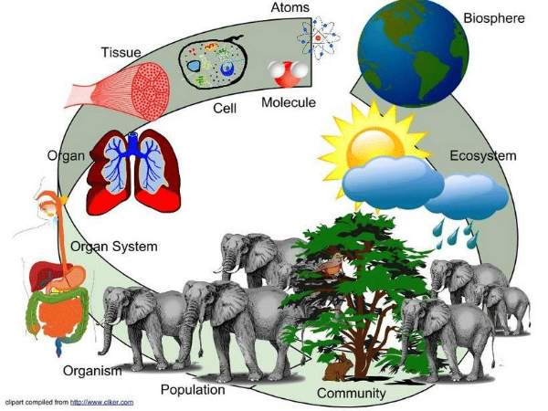 The biological levels of organization of living things arranged from the simplest to most complex are: organelle, cells, tissues, organs, organ systems, organisms, populations, communities, ecosystem, and biosphere.