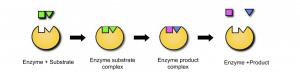 Describe the lock and key mechanism of enzyme action