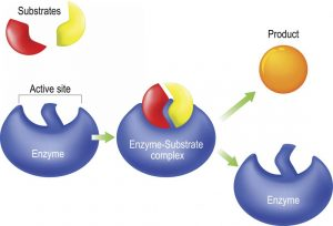 How would you define enzymes