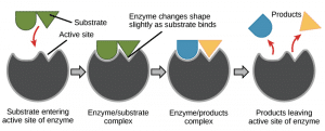 What characteristic of enzymes makes them specific for substrates