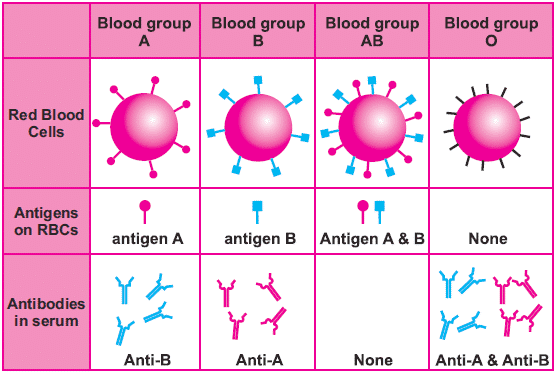 ABO Blood group system showing presence and absence of antigens and antibodies