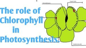 Describe the processes involved in photosynthesis