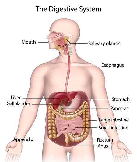 It consists of the mouth, or oral cavity, with its teeth, for grinding the food, and its tongue, which serves to knead food and mix it with saliva; the throat, or pharynx; the esophagus; the stomach; the small intestine, consisting of the duodenum, the jejunum, and the ileum; and the large intestine, consisting of the …