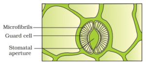 A plant with a large surface area will transpire more water. The rate of transpirational water loss is greater per unit area of leaf surface. The mesophyll cells of leaf provide large surface area for the evaporation of water. Water is drawn from xylem into mesophyll cells, from where it comes out and makes a water-film on the cell walls of mesophyll. From here, water evaporates into the air spaces of the leaf. Water vapours then diffuse from air spaces towards stomata and then pass to outside air.