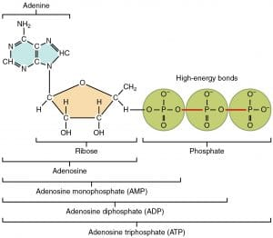 Interpret that ATP is the chief energy currency of all cells