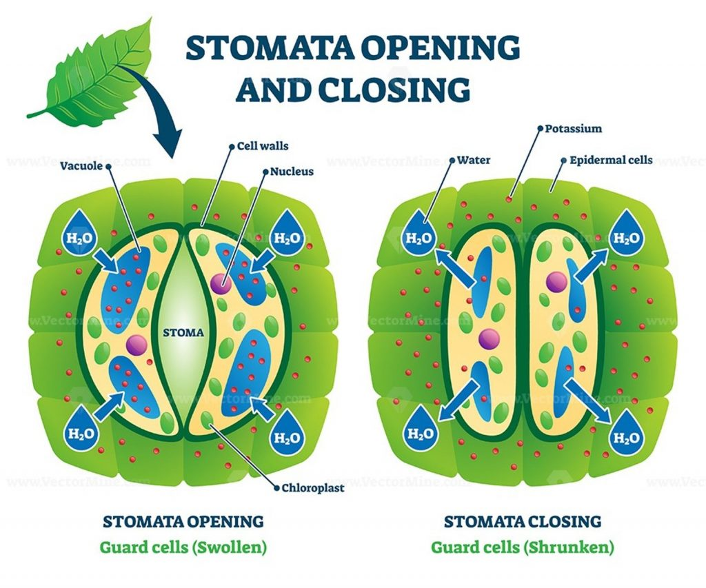 Stomata are composed of two guard cells. These cells have walls that are thicker on the inner side than on the outer side. This unequal thickening of the paired guard cells causes the stomata to open when they take up water and close when they lose water. A diagram of stomata is shown on page 408 of your text. The opening and closing of stomata is governed by increases or decreases of solutes in the guard cells, which cause them to take up or lose water, respectively.
