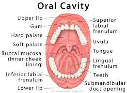 The oral cavity includes the lips, hard palate (the bony front portion of the roof of the mouth), soft palate (the muscular back portion of the roof of the mouth), retromolar trigone (the area behind the wisdom teeth), front two-thirds of the tongue, gingiva (gums), buccal mucosa (the inner lining of the lips and ...