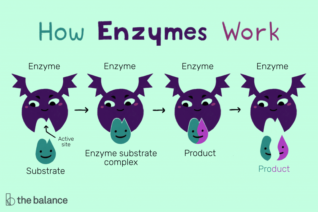 enzyme biology notes for punjab textbook.